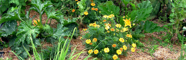 marigolds and zucchini